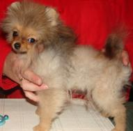 Pomeranian Puppy Uglies Before And After | Car Interior Design