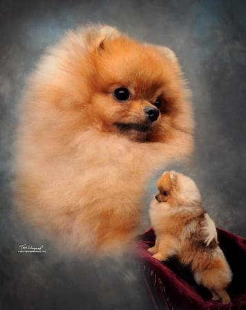 Pomeranian Puppy Uglies Stages